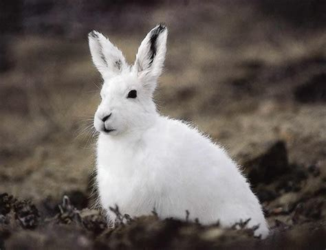 arctic hare  life  animals