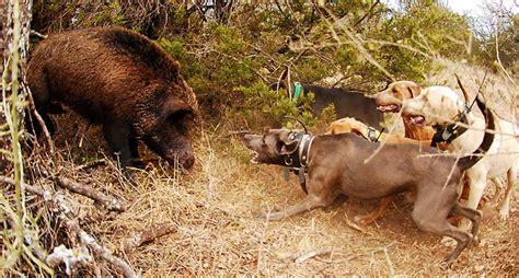 hog with dogs hog dogs the best breeds for hog