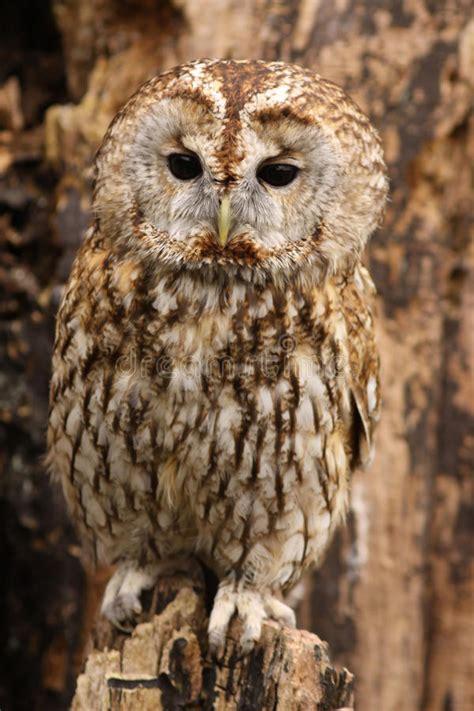 brown owl standing   tree stump stock photo