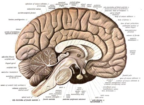 cross section human brain neuroanatomy wikipedia
