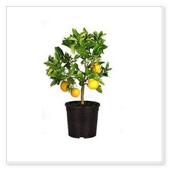 limone vaso limoni in vaso fioriere da esterno vasi fioriere