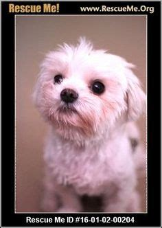 small rescue ma 1000 images about dogs need to be adopted havanese cotons maltese poodles