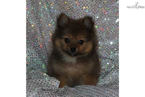 tiny teacup pomeranian puppies for sale in ohio adorable tiny akc pomeranian puppy breeds picture