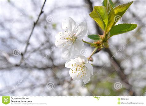 white cherry tree flowers stock images image 14151454