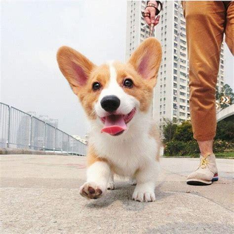 how much are corgi puppies best 25 baby corgi ideas on corgi puppies corgi and corgi pups