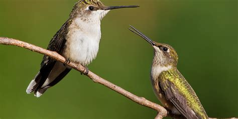 hummingbirds basic facts about hummingbirds defenders