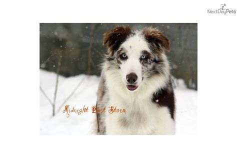 border collie puppies for sale in wisconsin border collie rescue wisconsin myideasbedroom