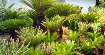 artikel tentang tanaman sikas jual tanaman hias