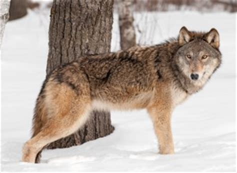 difference between wolf and difference between coyote and wolf