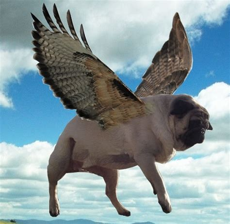 pug with wings i will believe this quot when pugs fly quot pug wings rotties dobes shepherds labs and