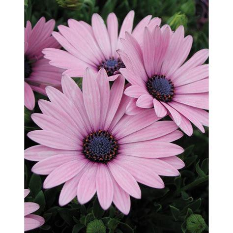 light purple flowers image flowers in bloom green proven winners light purple osteospermum live