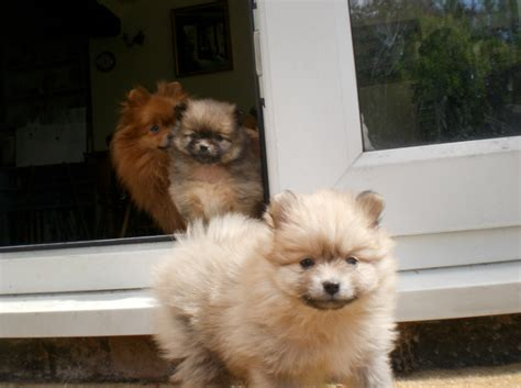 oldest pomeranian pomeranians a must read introduction