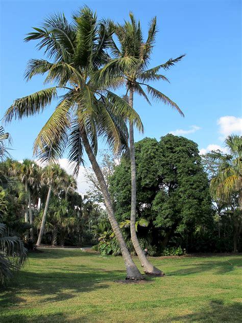cocos nucifera ufifas assessment university