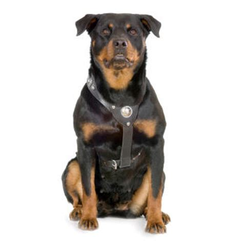 are rottweilers dangerous dogs dangerous dogs insurance spain