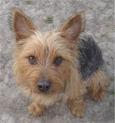 silky haired yorkie pic of silky haired yorkie breeds picture