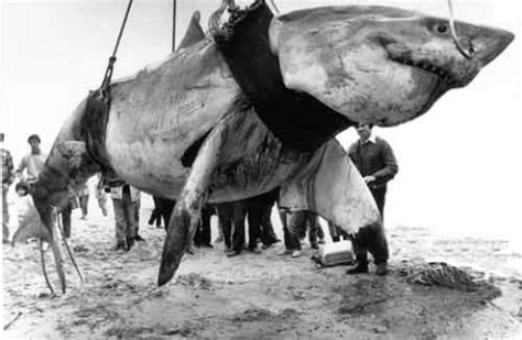 what is the largest great white shark ever recorded primer biggest great white shark ever