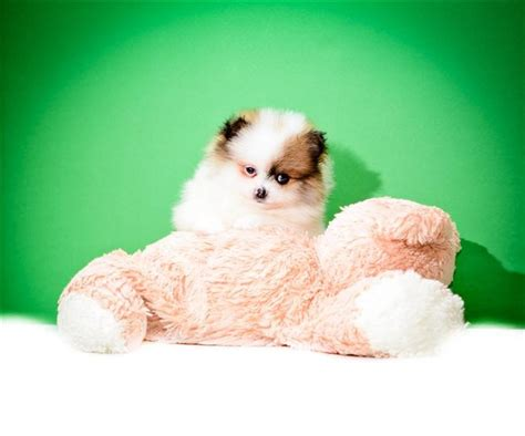 teacup pomeranian puppies for sale in ohio 25 best ideas about local puppies for sale on furs for sale doggie