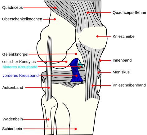 diagram of a knee file knee diagram de acl pcl svg