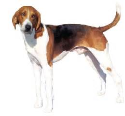 American Foxhound Information, Facts, Pictures, Training ...