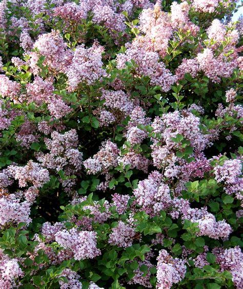 lilac tree information dwarf korean lilac tree form standard