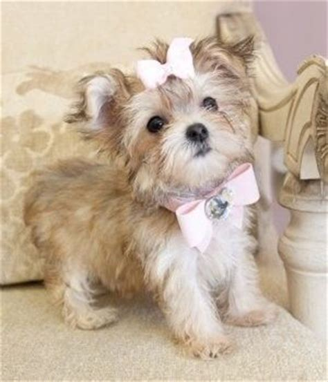 maltese yorkie lifespan 17 best images about yorkie on terrier