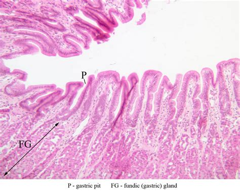 fundus of stomach stomach histology labeled pictures to pin on pinterest