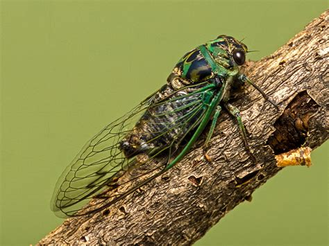 day cicada day cicada songs of insects