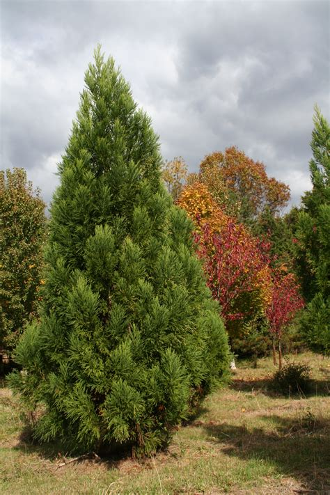 evergreen trees shade tree farm