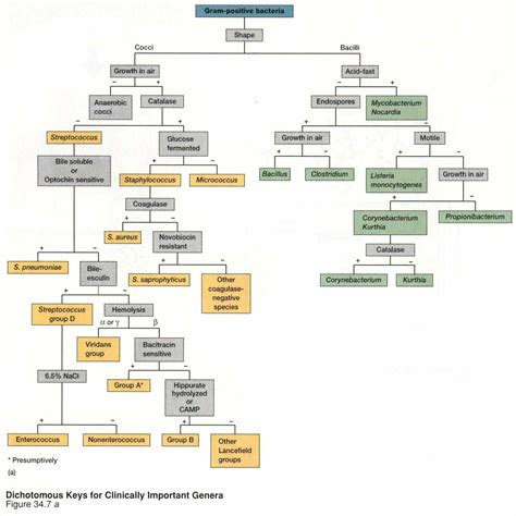 bacterial unknown flowchart microbiology flowchart unknown bacteria flowchart in word