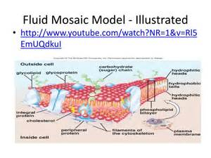 ppt fluid mosaic model illustrated powerpoint