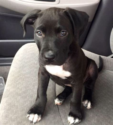 black pitbull puppy 25 best ideas about white puppies on white siberian husky doge and