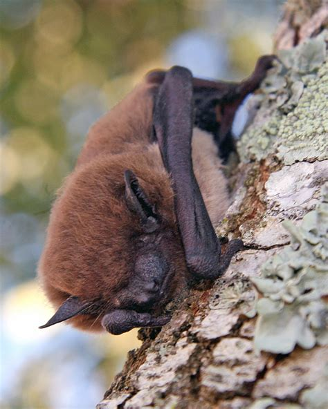 sleeping evening bat nycticeius humeralis photo larry