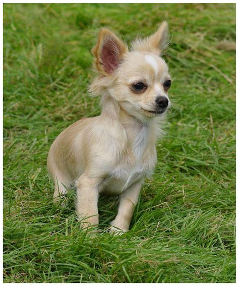 haircut for long hair chihuahua the smallest dogs