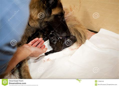 taking care of a puppy taking care of newborn puppy royalty free stock image image 17656146