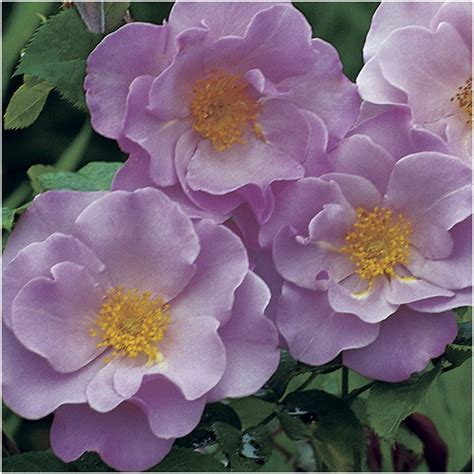 blueberry hill bush roses   shades  blue