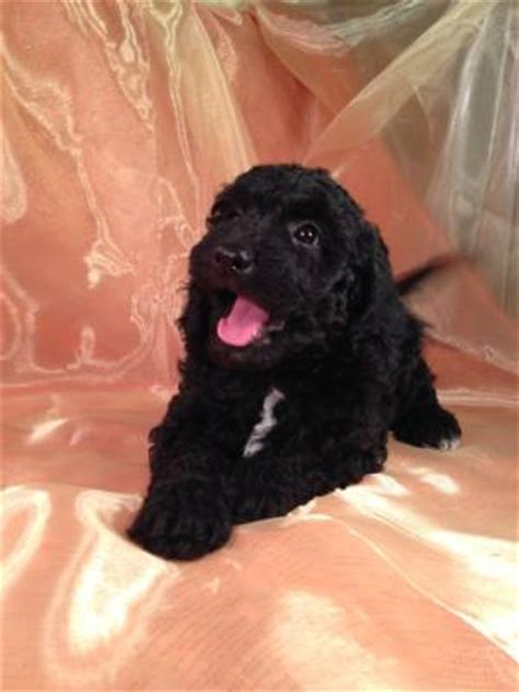 country doodle dogs indiana te bouwen en wonen mini goldendoodle dogs for sale