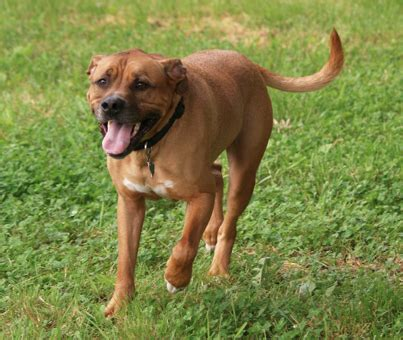 aggressive boxer breed photos breeds picture