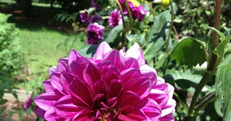dahlia s are blooming simplylovegardening