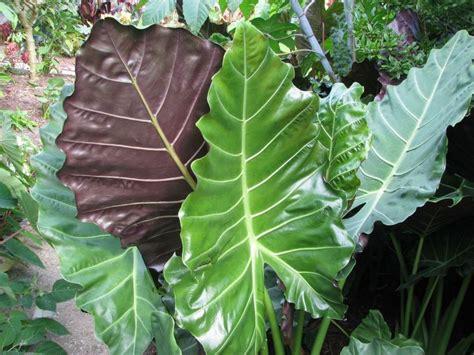 alocasia mayan mask pp 24391 plants nouveau