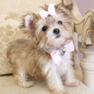 what is a morkie puppys i and yorkie on