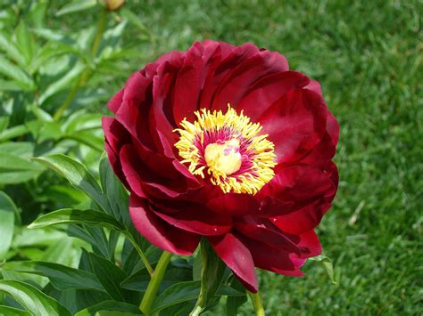 peony flowers peony flower free stock photo public domain pictures