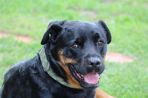 rottweiler rescue virginia rottweiler for sale virginia dogs in our photo
