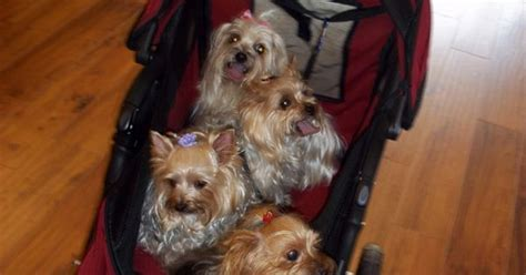 yorkie stroller yorkie stroller yorkies yorkie lol and to be
