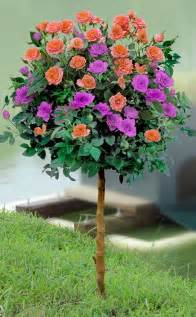 patio roses for sale melon purple sunblaze patio tree beautiful