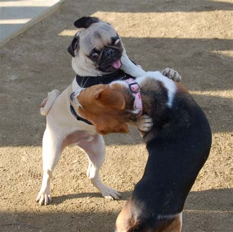 pugs and beagles and race with the sunday mvdp hug pugs the hug pug
