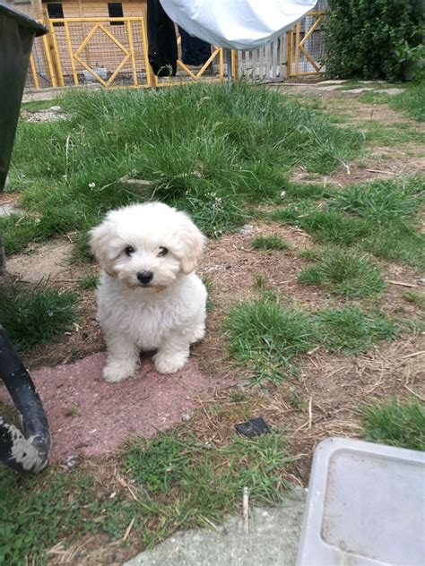 miniature bichon frise puppies for sale miniature schnauzer puppies for sale puppies and dogs autos post