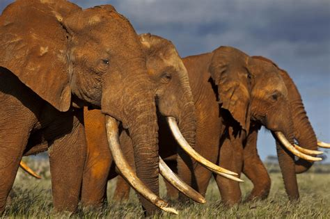 elephant ivory why some countries don t want to do more to protect elephants