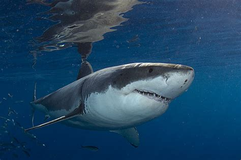american sharks full circle the return to baja to dive with great white