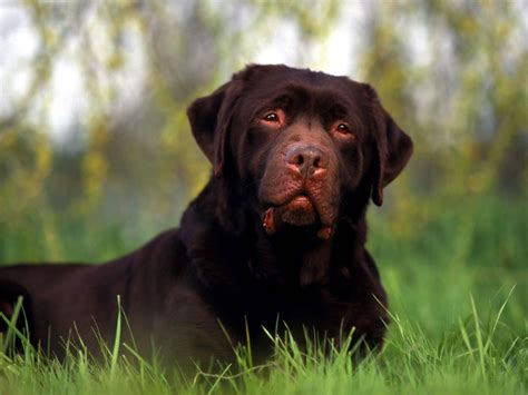 rottweiler sad rottweiler pictures gallery breeders guide