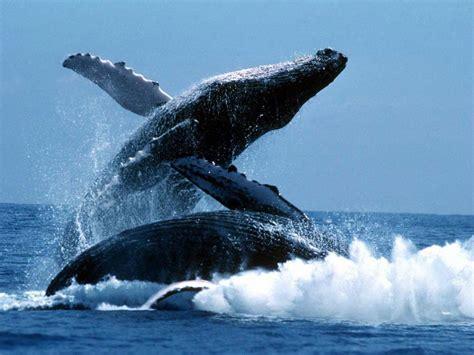 Baleine a bosse 11   Tuxboard